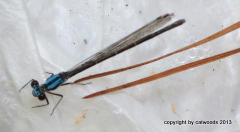 Familiar Bluet Dragonfly on plastic