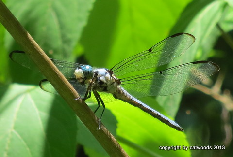 A Blue Dasher Dragonfly takes a break in the big leaves