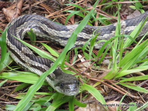 It's a Rat Snake, it really, really is . . .