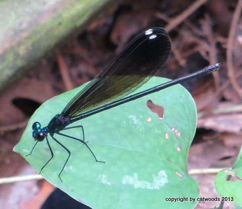 The Black-Winged Damselfly aka Ebony Jewelwing