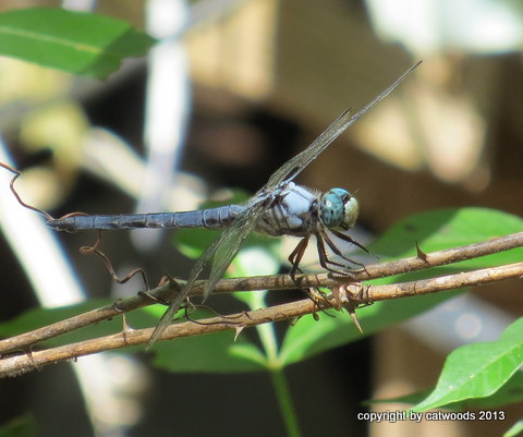 The Blue Dasher cuts a dashing figure up there