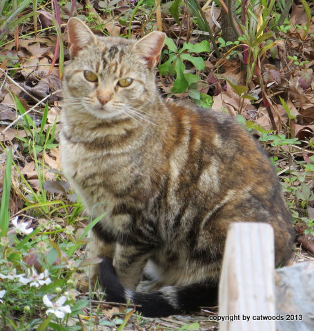 Madame Curious, Feral Classic Tabby with Reddish Markings