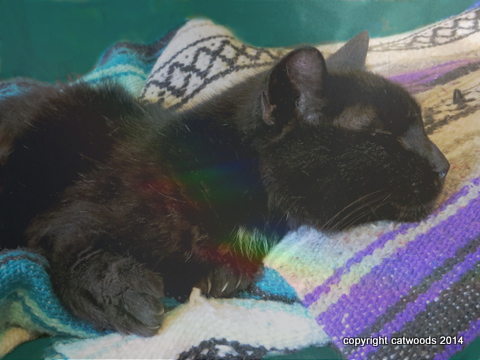 Little Buddy with a rainbow in his black fur. He's a found kitty with unusual forelegs.