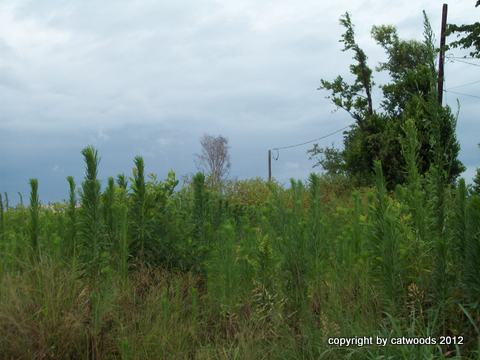 Lonely Pokeweed Prairie