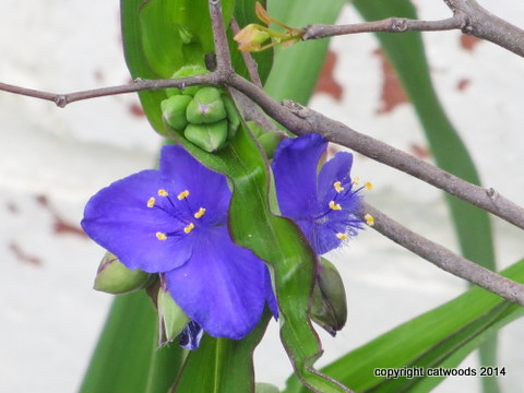 A wildflower that vounteers all over town, spiderwort can also be cultivated