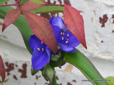 Spiderwort with leaves of unknown identity