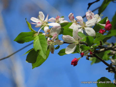Flowering crabapple AFAIK
