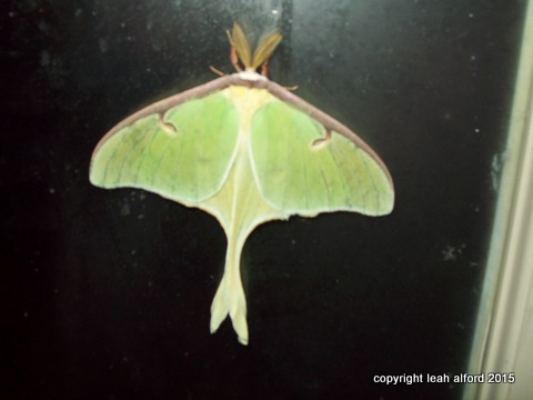 Luna Moth on glass