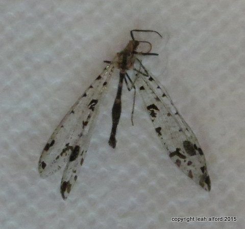Antlion found deceased