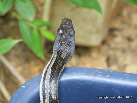 Beneficial rat snake finds his way to the woods