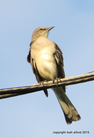 Astute Mockingbird