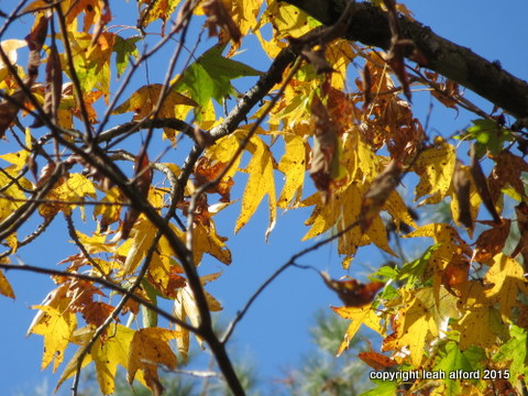 Sweetgum Afternoon
