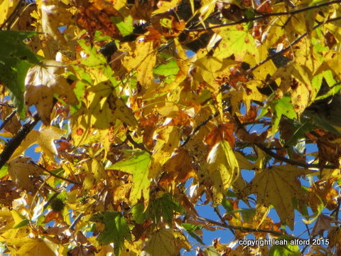 Sweetgum burst