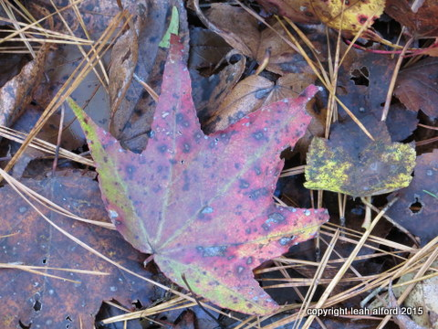 Sweetgum leaf with pine straw