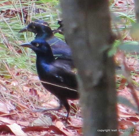 Last year's grackles