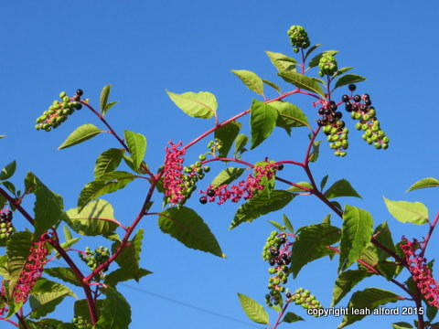 Pokeweed in August