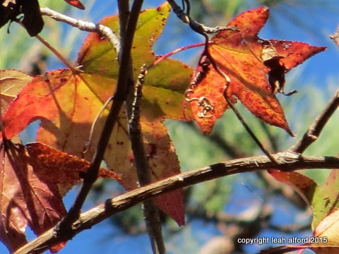 Sweetgum ready for its close-up
