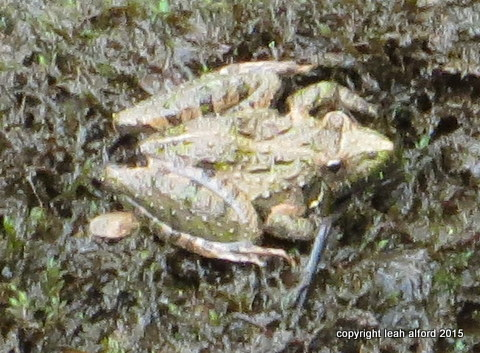 Frog, top view