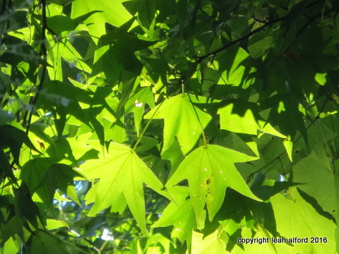 Sweetgum in summer