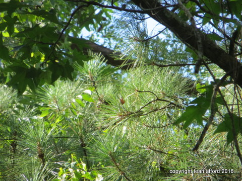 Pine dance