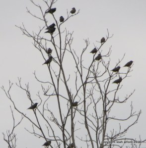 Blackbirds February, 2016
