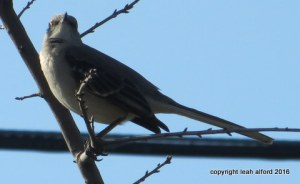 Spring Mockingbird 2016