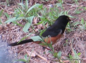 Rufous-sided towhee, male