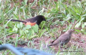 Rufous-sided towhees, male and female, summer 2016