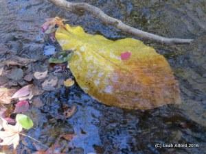 Cowcumber tree leaf, aka Broadleaf Magnolia